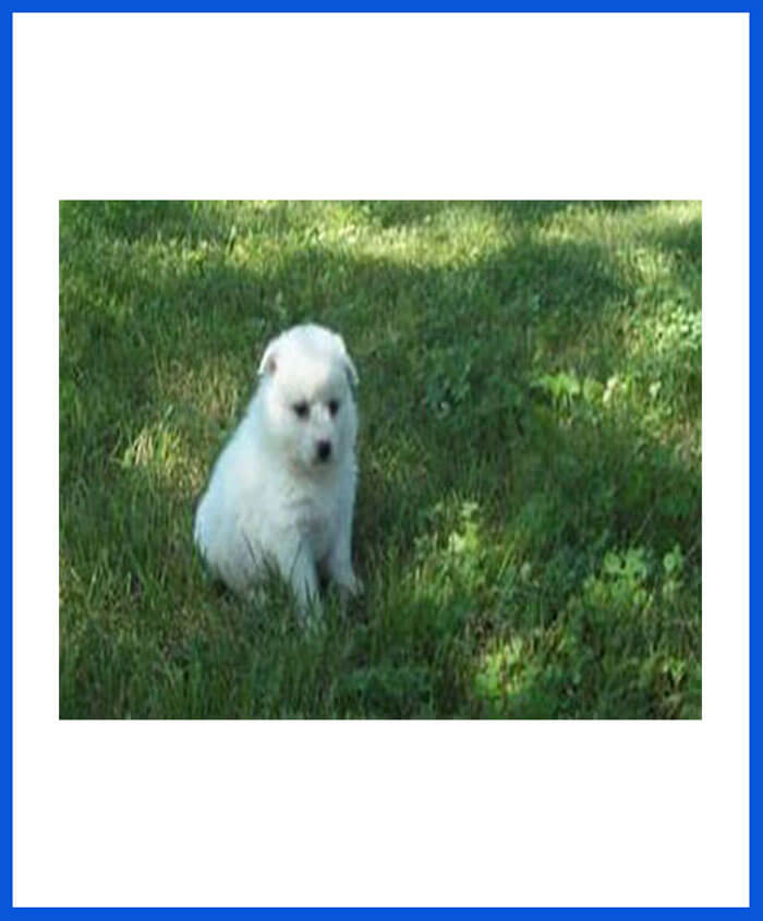 American Eskimo Dog Puppy For Sale - Poddarkennel | Call
