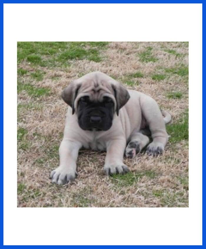 American Mastiff Dog Puppy For Sale - Poddarkennel | Call