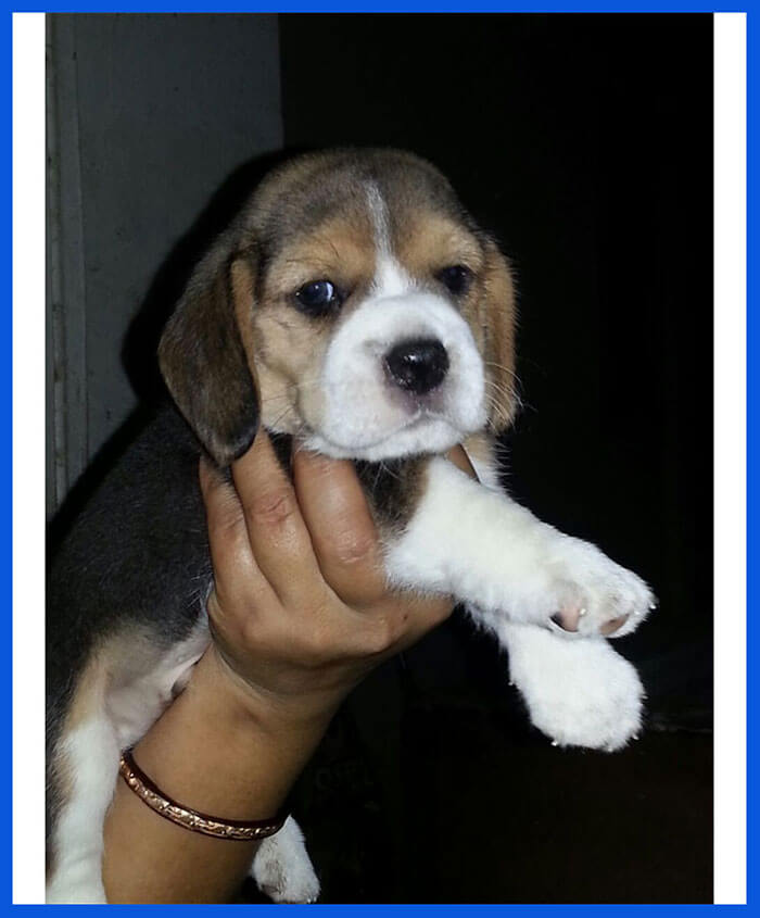 Beagle Dog Puppy For