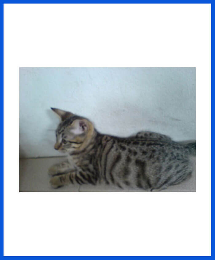 All Types Of Cats Kittens For Sale All Over India Transportation Free Poddarkennel