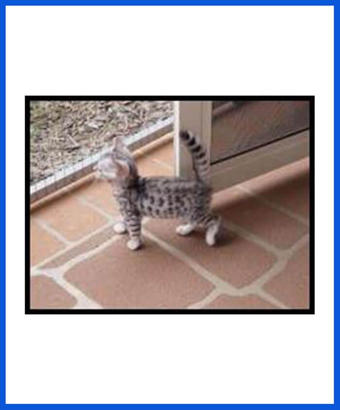 Bengal Kitten For Sale - Poddarkennel | Call@9313005254