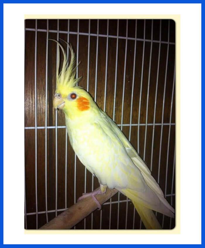 Cockatiel Birds For Sale - Poddarkennel | Call@9313005254