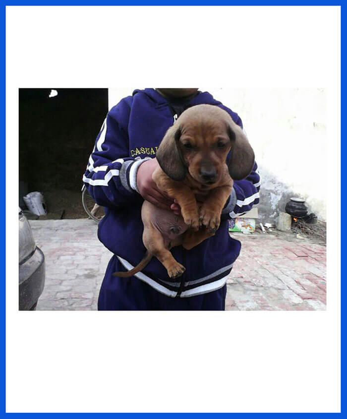 Dachshund Dog Puppy For Sale - Poddarkennel | Call@9313005254