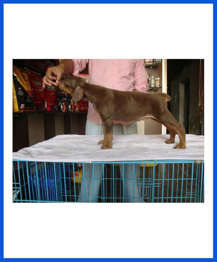 Doberman Dog Puppy For Sale - Poddarkennel | Call@9313005254