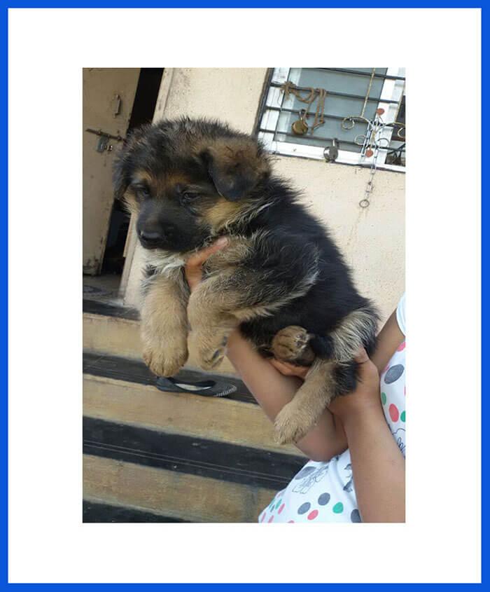 German Shepherd Dog Puppy For Sale Poddarkennel Call 9810871734