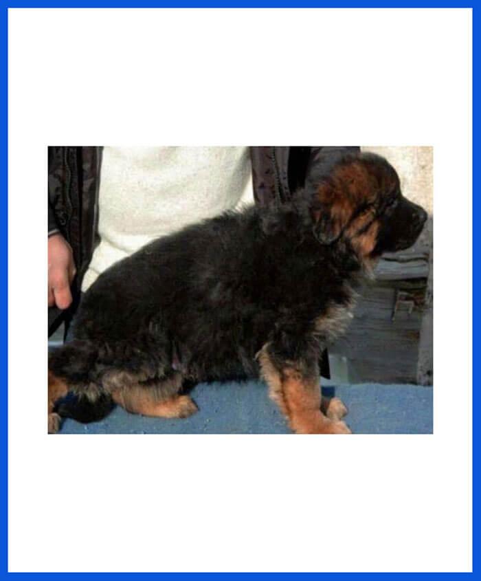 German Shepherd Dog Puppy For Sale - Poddarkennel | Call