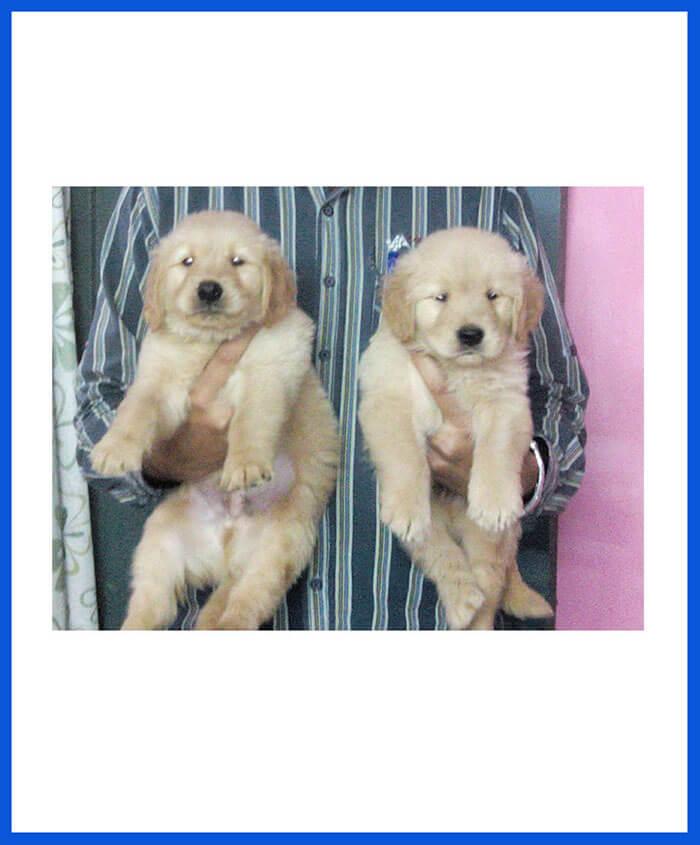 Golden Retriever Dog Puppy For