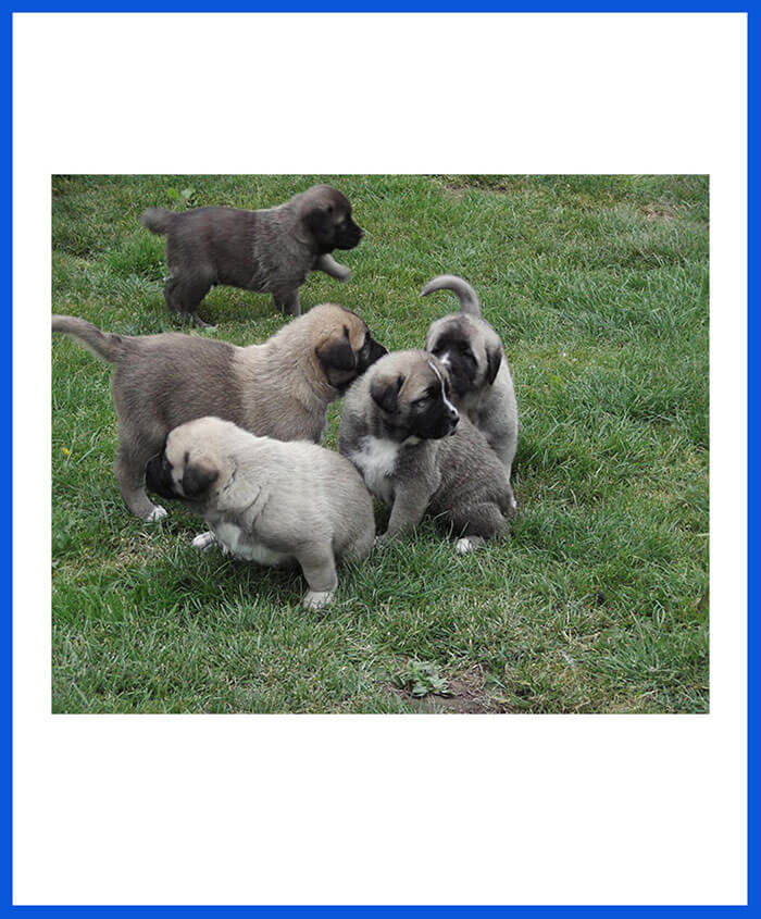 Kangal Dog Puppy Price In India - Madara Dogs And Puppy