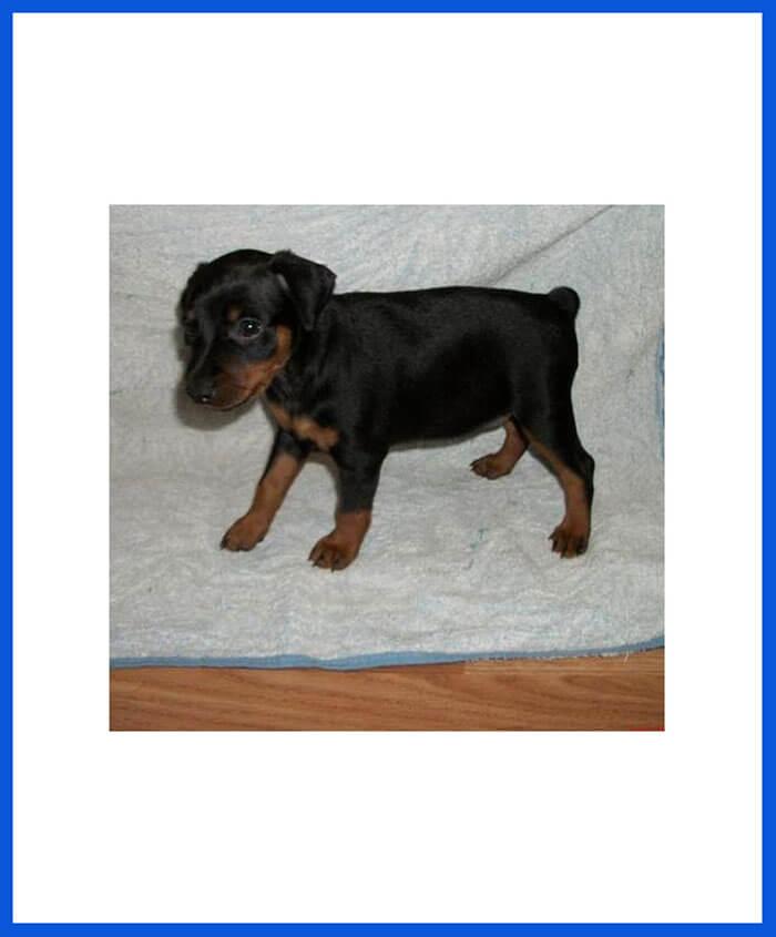 Miniature Pinscher Dog Puppy For Sale Poddarkennel Call At 9810871734