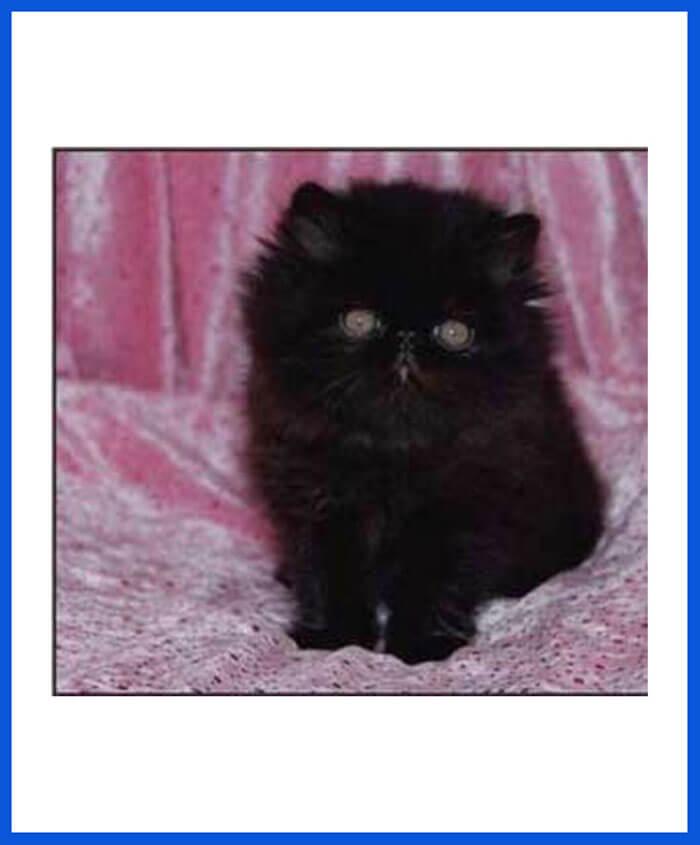 Price of persian cat in kolkata