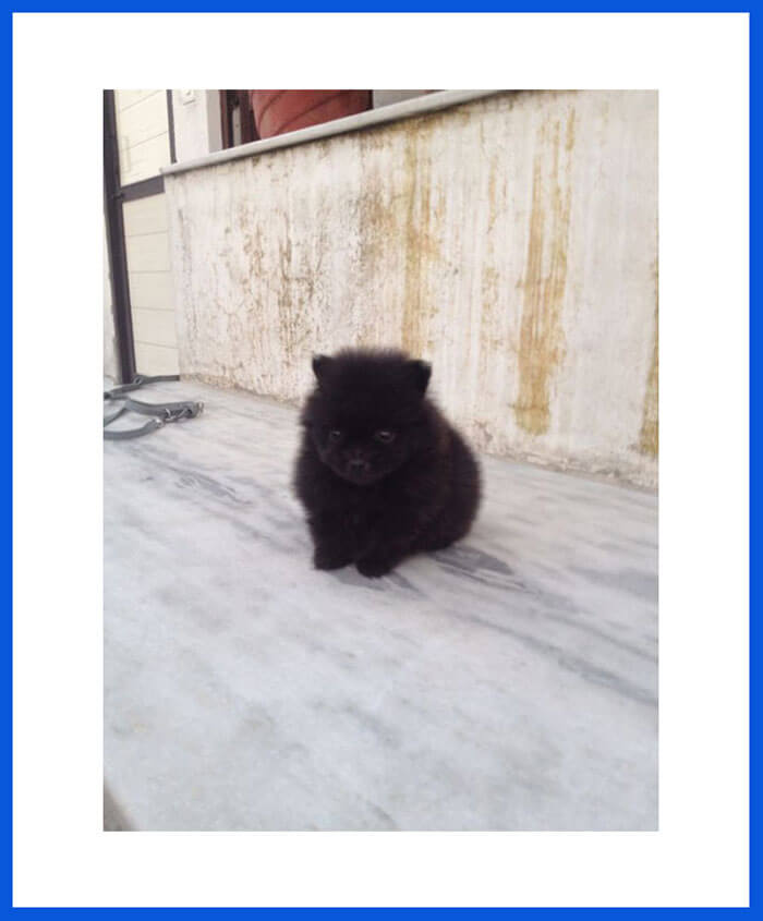 Pomeranian Dog Puppy For Sale Poddarkennel Call 9810871734