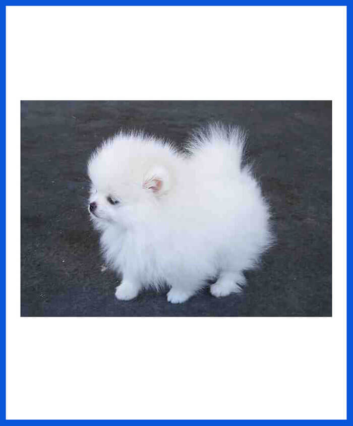 Pomeranian Dog Puppy For Sale - Poddarkennel | Call@9313005254