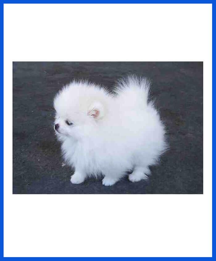 Pomeranian dog puppy for sale poddarkennel call9313005254 altavistaventures Images