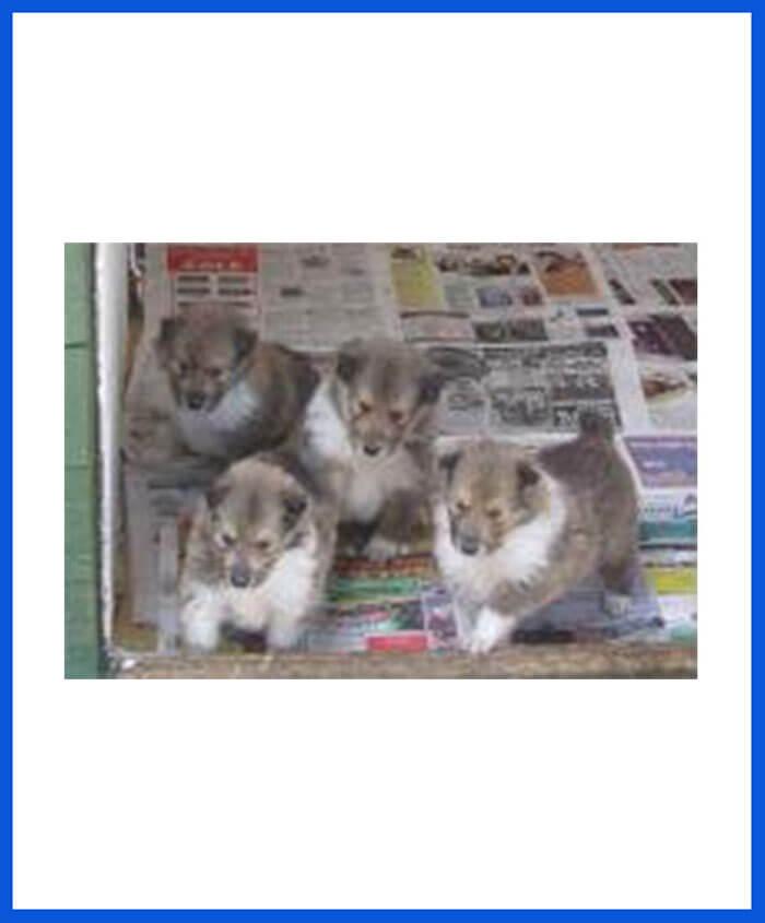 Rough Collie Dog Puppy For Sale - Poddarkennel | Call@9313005254