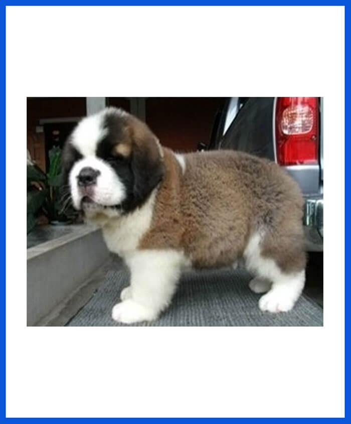Saint Bernard Dog Puppy For Sale Poddarkennel Call At 9810871734