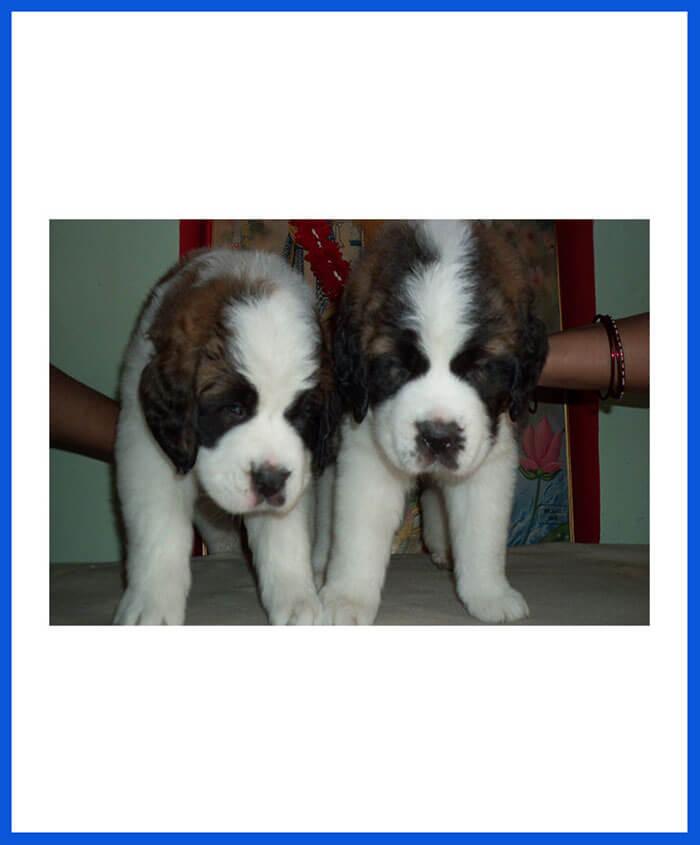 Saint Bernard Dog Puppy For Sale - Poddarkennel   Call
