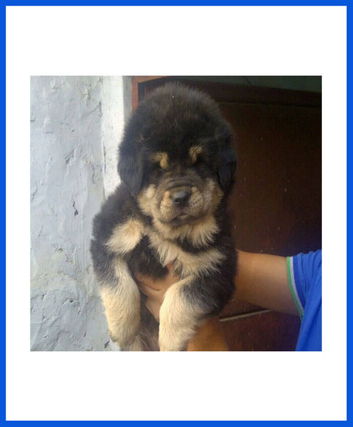 Tibetan Mastiff Dog Puppy For Sale - Poddarkennel | Call@9313005254